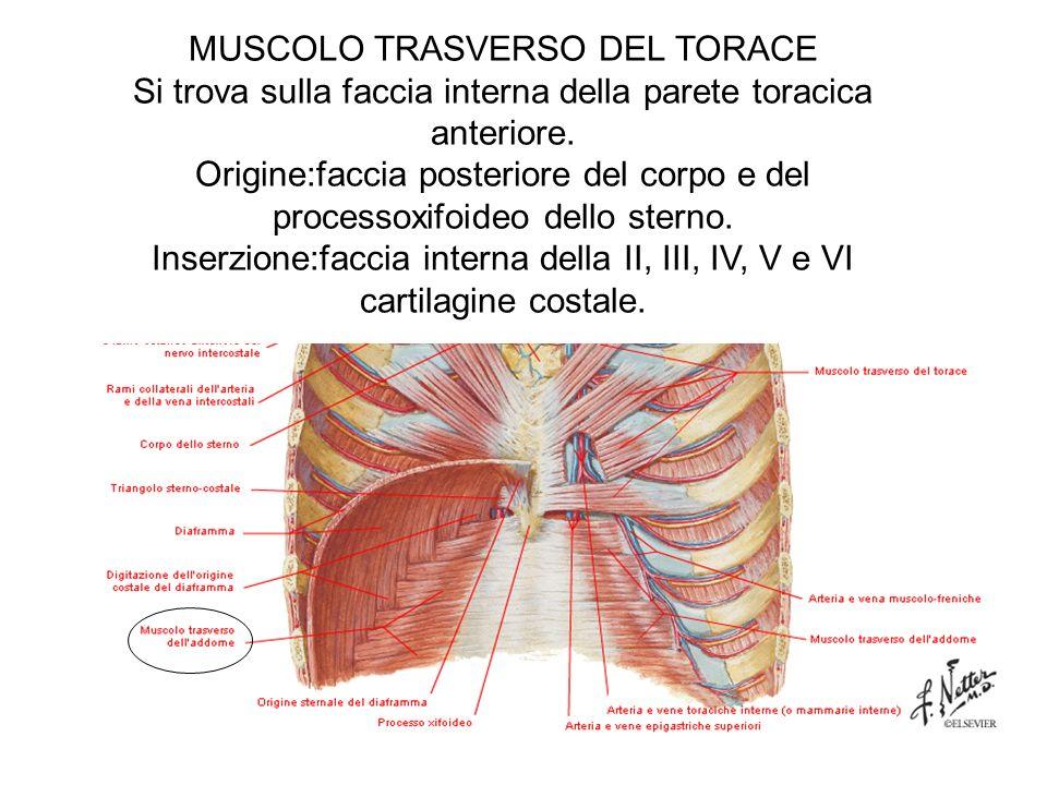 MUSCOLO TRASVERSO DEL TORACE Si trova sulla faccia interna della parete toracica anteriore.