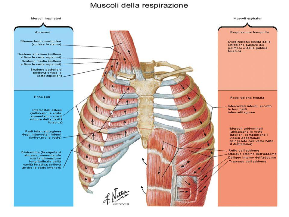 DIAFRAMMA É in connessione con la II, III, IV vertebra lombare, le ultime 6 coste e con il processo xifoideo dello sterno.