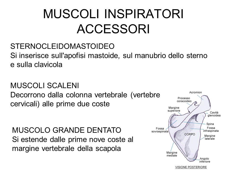 MUSCOLI INSPIRATORI ACCESSORI MUSCOLO GRANDE DENTATO Si estende dalle prime nove coste al margine vertebrale della scapola MUSCOLI SCALENI Decorrono dalla colonna vertebrale (vertebre cervicali) alle prime due coste STERNOCLEIDOMASTOIDEO Si inserisce sull apofisi mastoide, sul manubrio dello sterno e sulla clavicola
