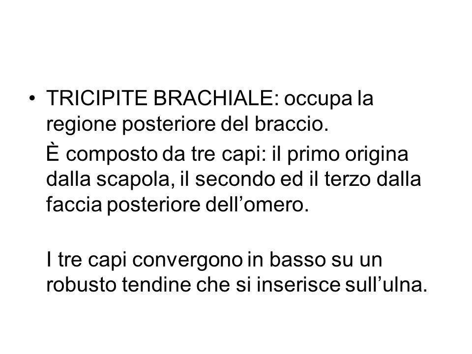TRICIPITE BRACHIALE: occupa la regione posteriore del braccio. È composto da tre capi: il primo origina dalla scapola, il secondo ed il terzo dalla fa