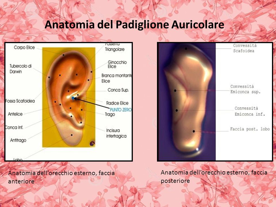 Anatomia del Padiglione Auricolare Anatomia dellorecchio esterno, faccia anteriore Anatomia dellorecchio esterno, faccia posteriore