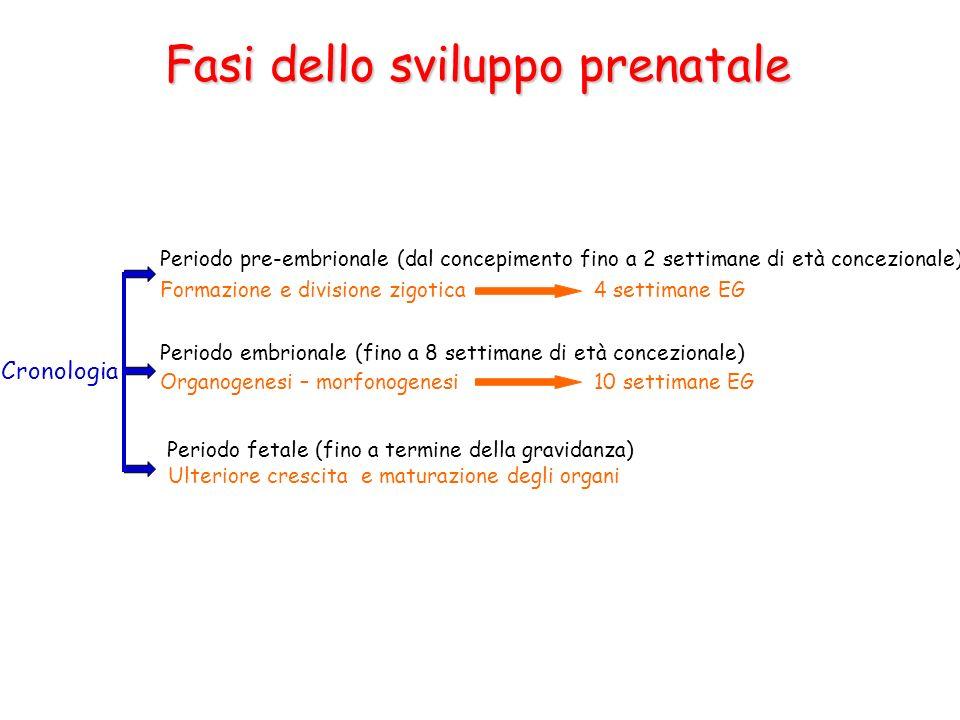 Fasi dello sviluppo prenatale Cronologia Periodo pre-embrionale (dal concepimento fino a 2 settimane di età concezionale) Periodo embrionale (fino a 8
