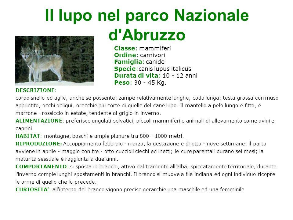Il lupo nel parco Nazionale d Abruzzo Classe: mammiferi Ordine: carnivori Famiglia: canide Specie:canis lupus italicus Durata di vita: 10 - 12 anni Peso: 30 - 45 Kg.