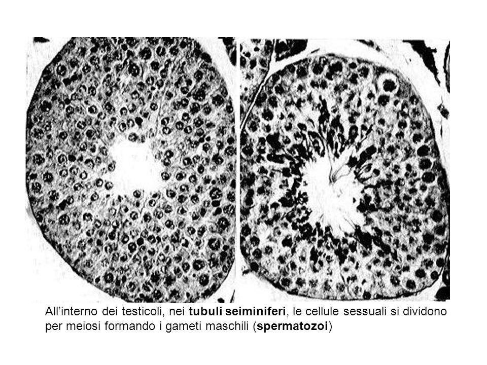 Allinterno dei testicoli, nei tubuli seiminiferi, le cellule sessuali si dividono per meiosi formando i gameti maschili (spermatozoi)