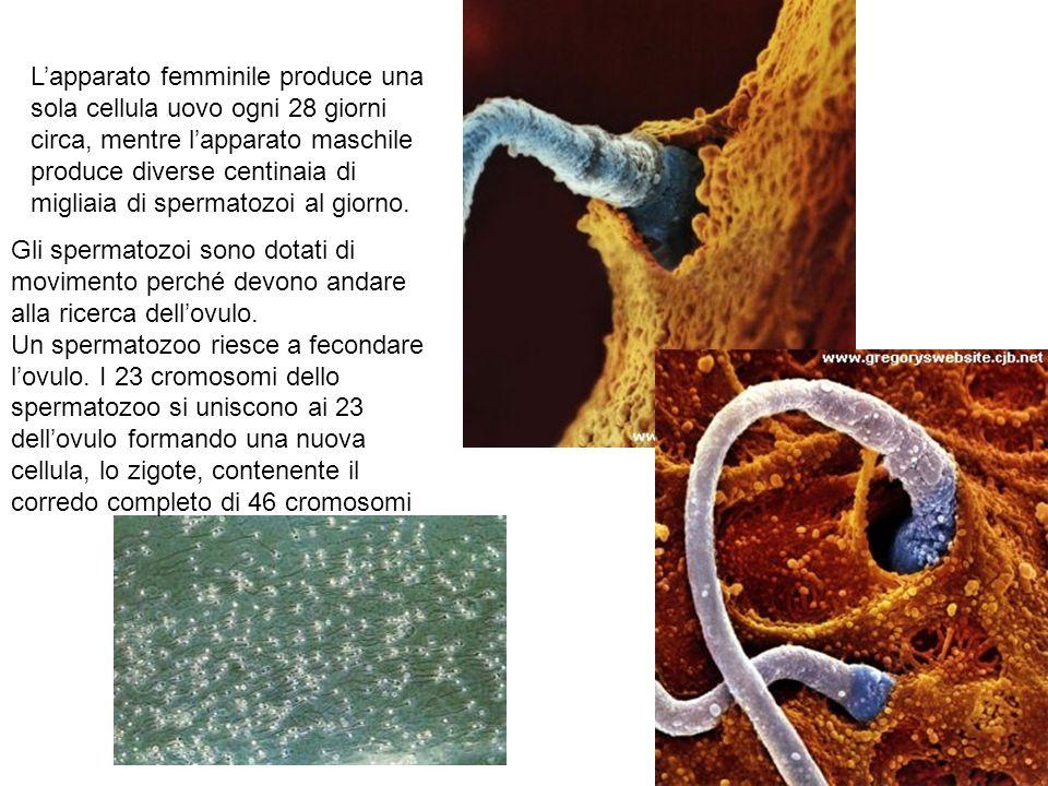 Lapparato femminile produce una sola cellula uovo ogni 28 giorni circa, mentre lapparato maschile produce diverse centinaia di migliaia di spermatozoi