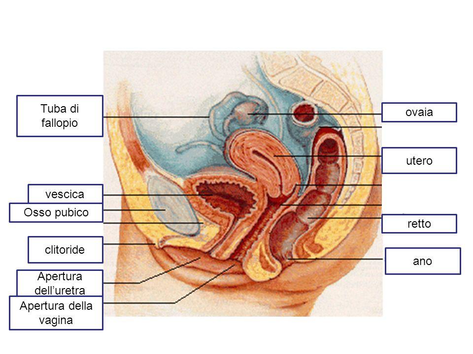 utero ovaia ano Tuba di fallopio vescica Osso pubico clitoride Apertura della vagina Apertura delluretra retto