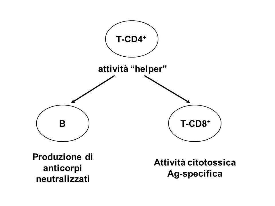 T-CD4 + BT-CD8 + attività helper Produzione di anticorpi neutralizzati Attività citotossica Ag-specifica