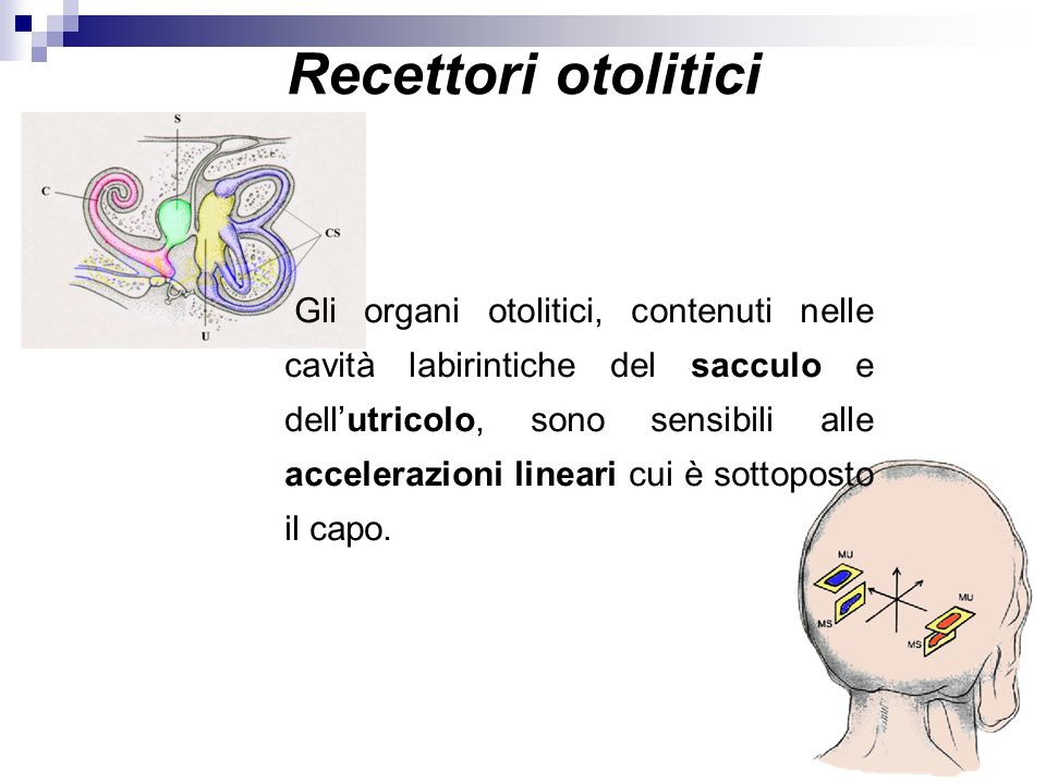 Recettori otolitici Gli organi otolitici, contenuti nelle cavità labirintiche del sacculo e dellutricolo, sono sensibili alle accelerazioni lineari cu
