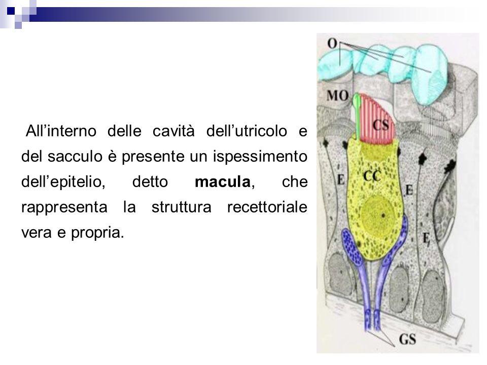 Allinterno delle cavità dellutricolo e del sacculo è presente un ispessimento dellepitelio, detto macula, che rappresenta la struttura recettoriale ve