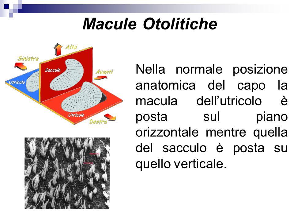 Macule Otolitiche Nella normale posizione anatomica del capo la macula dellutricolo è posta sul piano orizzontale mentre quella del sacculo è posta su