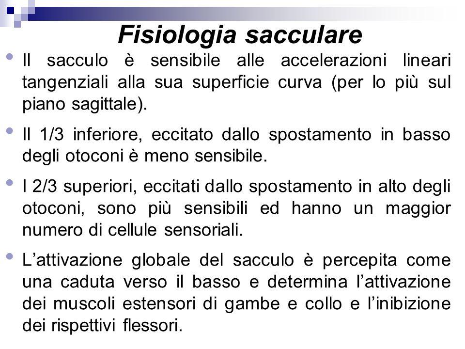 Fisiologia sacculare Il sacculo è sensibile alle accelerazioni lineari tangenziali alla sua superficie curva (per lo più sul piano sagittale). Il 1/3