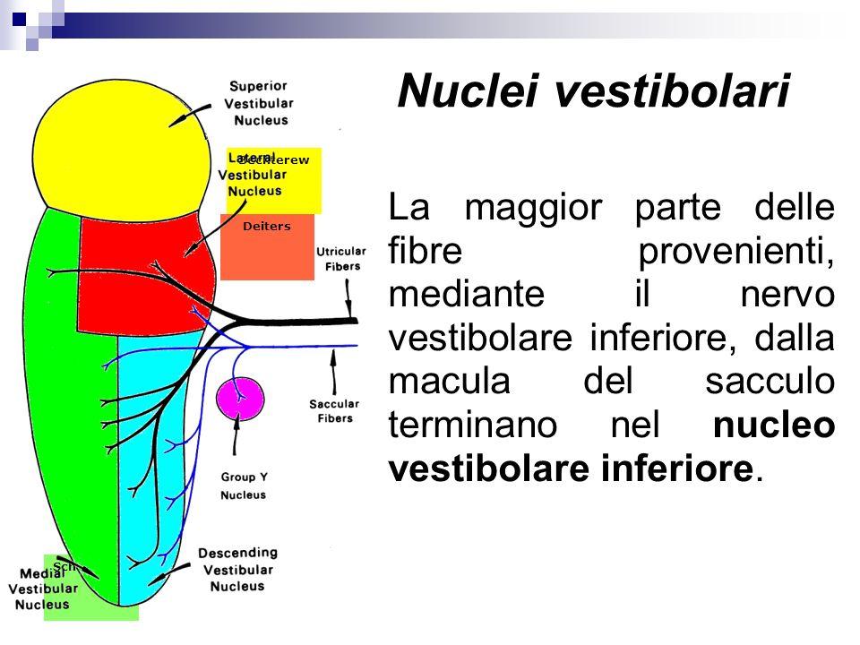 Schwalbe Deiters Bechterew La maggior parte delle fibre provenienti, mediante il nervo vestibolare inferiore, dalla macula del sacculo terminano nel n
