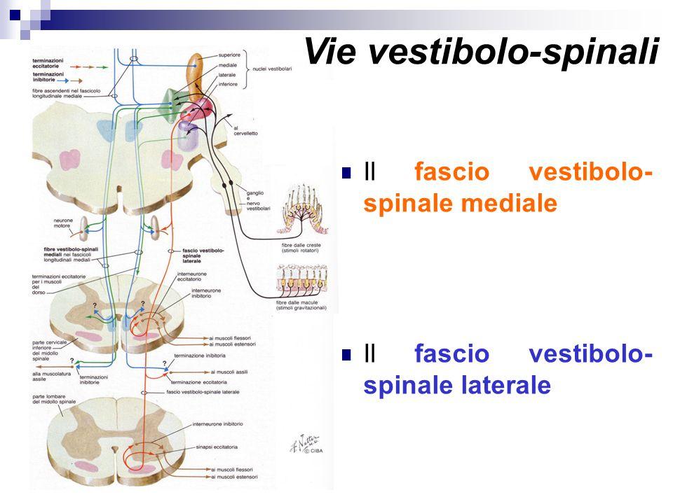Vie vestibolo-spinali Il fascio vestibolo- spinale mediale Il fascio vestibolo- spinale laterale Vie vestibolo-spinali