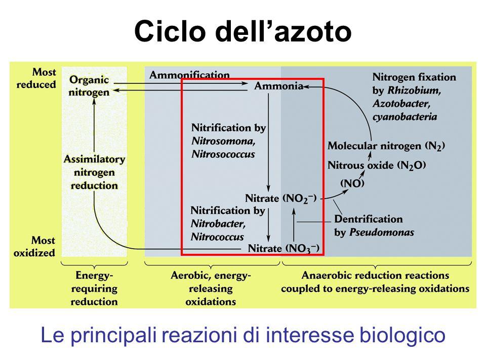 Le principali reazioni di interesse biologico Ciclo dellazoto