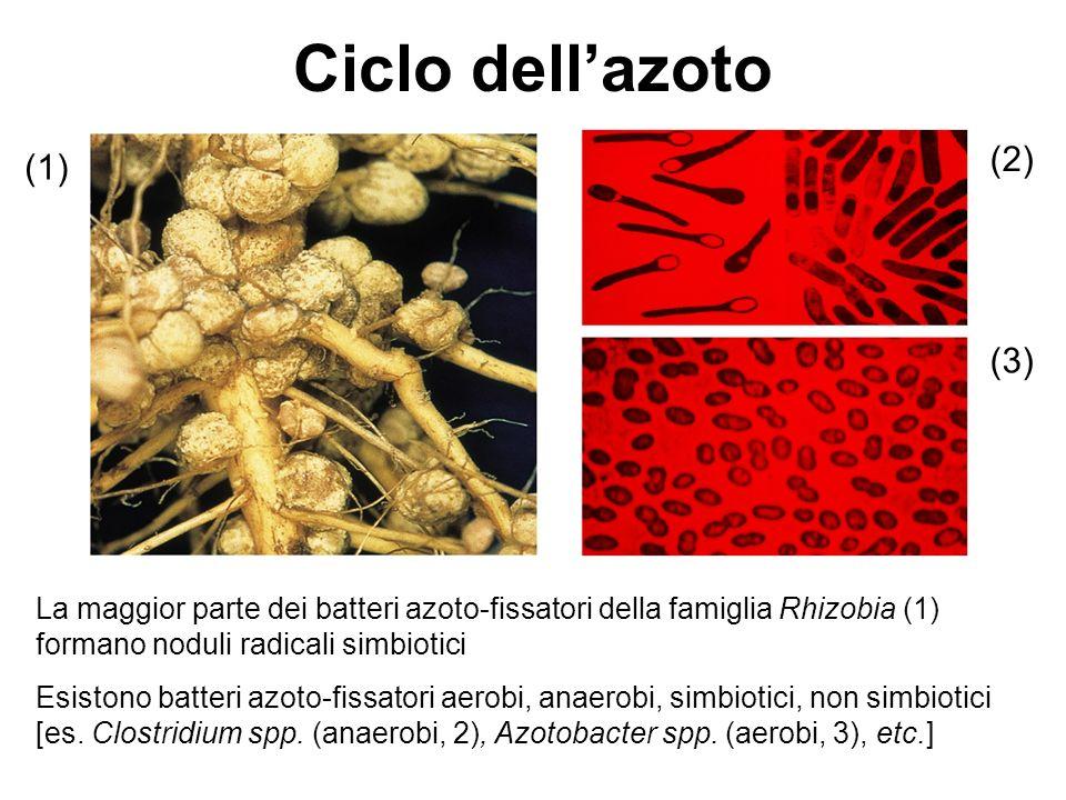 La maggior parte dei batteri azoto-fissatori della famiglia Rhizobia (1) formano noduli radicali simbiotici Esistono batteri azoto-fissatori aerobi, anaerobi, simbiotici, non simbiotici [es.