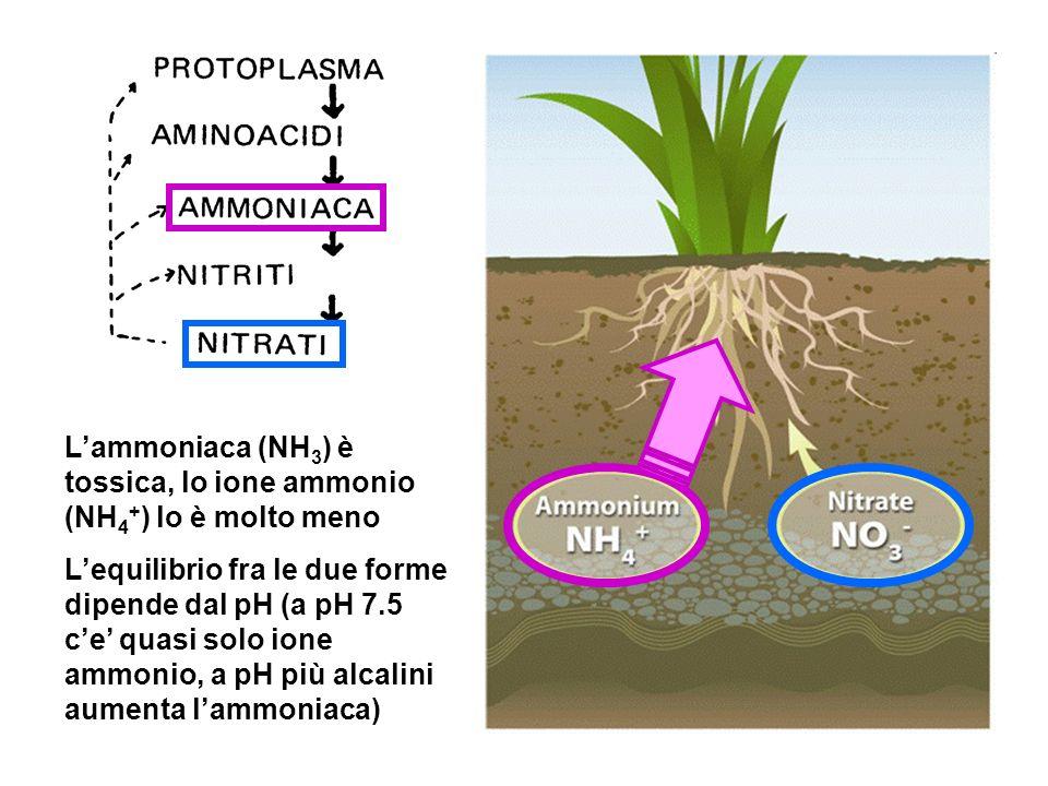 Lammoniaca (NH 3 ) è tossica, lo ione ammonio (NH 4 + ) lo è molto meno Lequilibrio fra le due forme dipende dal pH (a pH 7.5 ce quasi solo ione ammonio, a pH più alcalini aumenta lammoniaca)