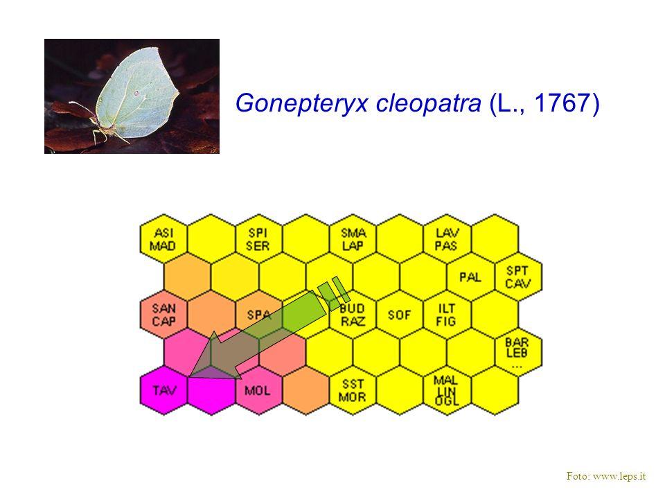Gonepteryx cleopatra (L., 1767) Foto: www.leps.it