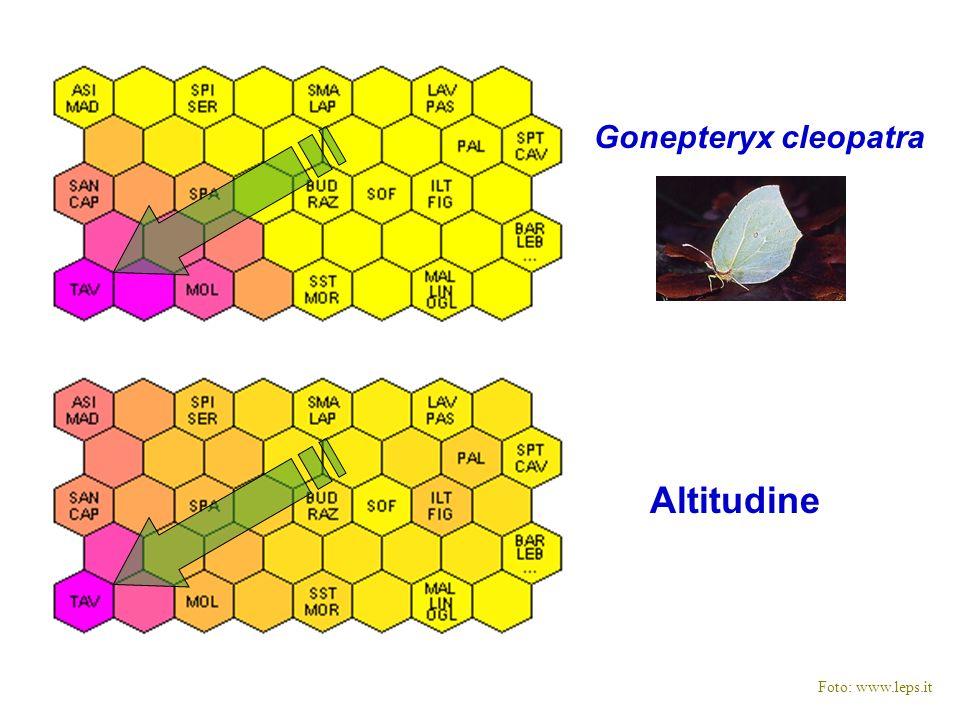Altitudine Gonepteryx cleopatra Foto: www.leps.it
