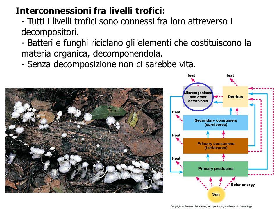 Interconnessioni fra livelli trofici: - Tutti i livelli trofici sono connessi fra loro attreverso i decompositori. - Batteri e funghi riciclano gli el
