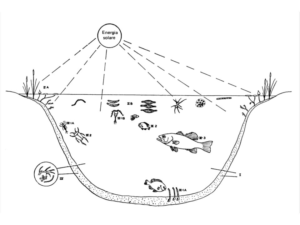 Interconnessioni fra livelli trofici: - Tutti i livelli trofici sono connessi fra loro attreverso i decompositori.