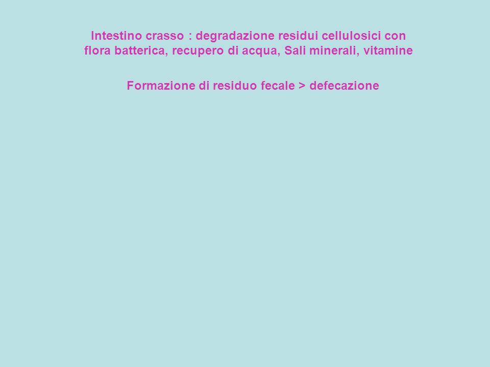 Intestino crasso : degradazione residui cellulosici con flora batterica, recupero di acqua, Sali minerali, vitamine Formazione di residuo fecale > def