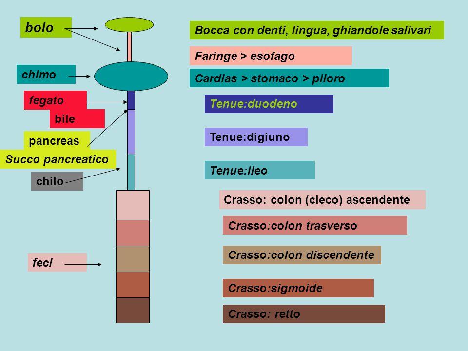 bocca crasso feci Ptialina : amido >>> maltosio bolo pH 6.4 stomaco Pepsina :protidi > peptoni chimo pH 2 tenue fegato pancreas Fegato >>> bile, Sali biliari pancreas Amilasi : amido > maltosio maltasi : maltosio > glucosio lipasi : lipidi > acidi grassi e glicerina Amilasi : amido > maltosio maltasi : maltosio > glucosio saccarasi : saccarosio >glucosio+ fruttosio lipasi : acidi glassi e glicerina peptidasi: protidi > amminoacidi chilo pH 6.5