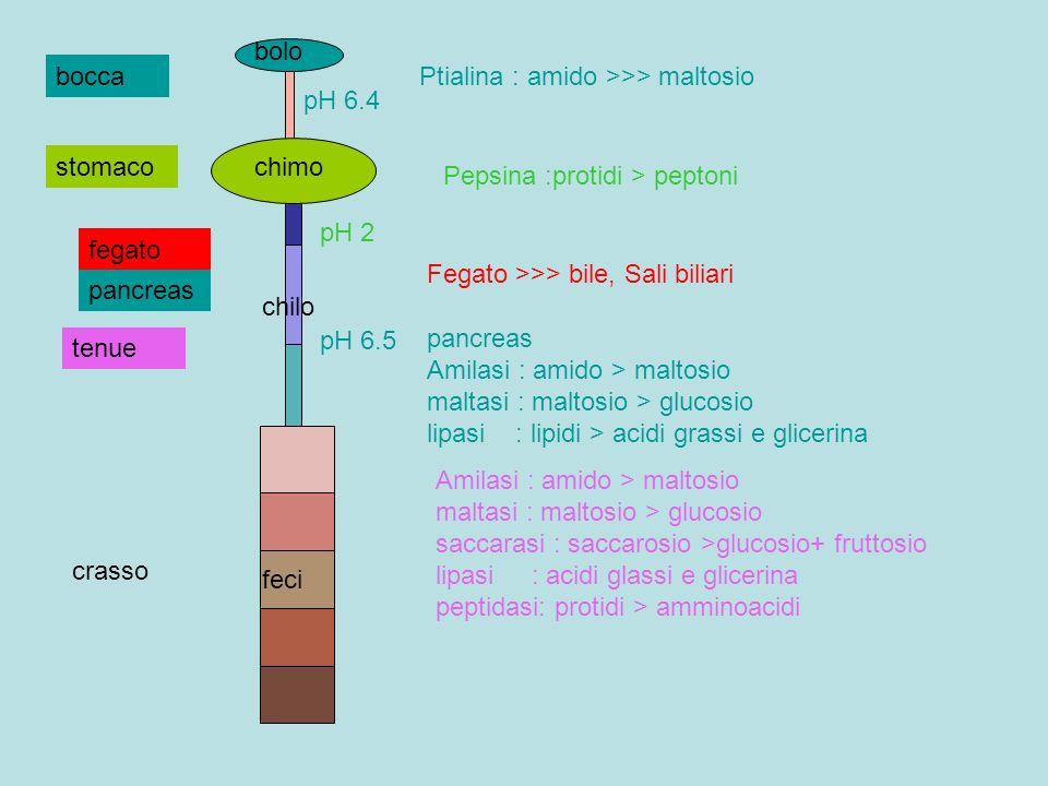 bocca crasso feci Ptialina : amido >>> maltosio bolo pH 6.4 stomaco Pepsina :protidi > peptoni chimo pH 2 tenue fegato pancreas Fegato >>> bile, Sali