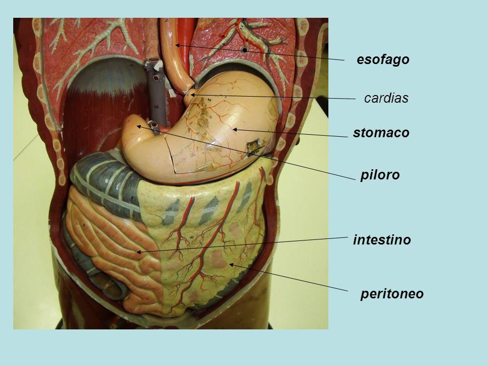 esofago stomaco cardias piloro intestino peritoneo