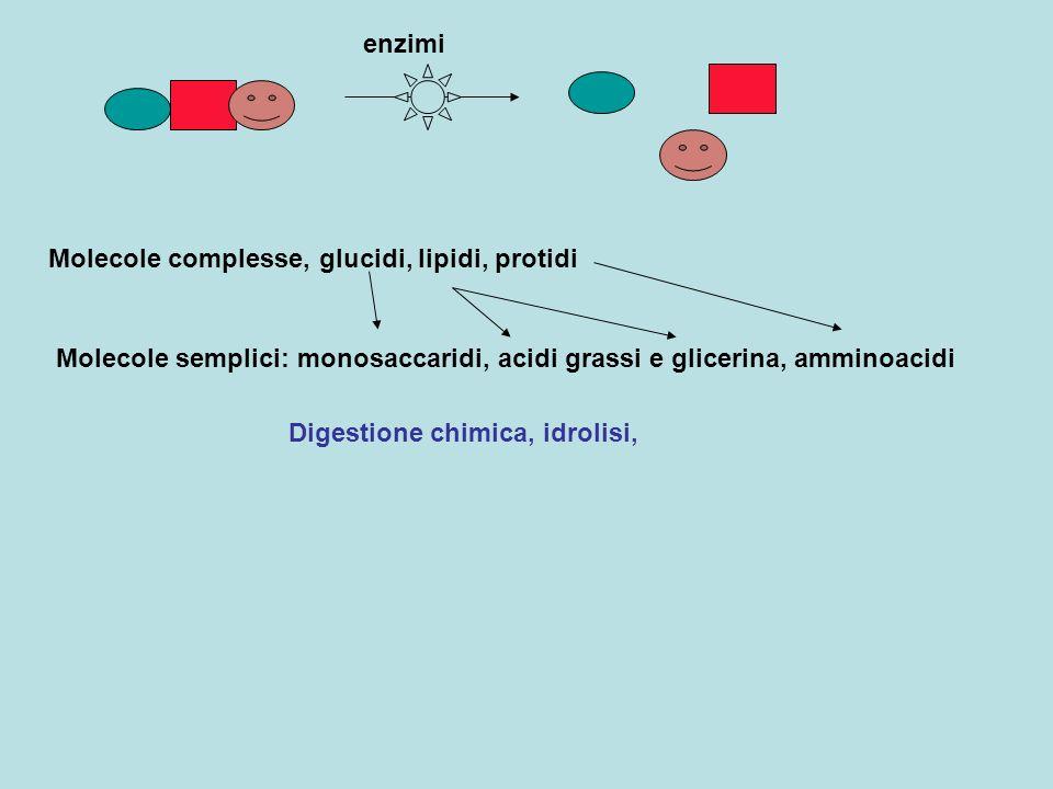 Molecole complesse, glucidi, lipidi, protidi enzimi Molecole semplici: monosaccaridi, acidi grassi e glicerina, amminoacidi Digestione chimica, idroli