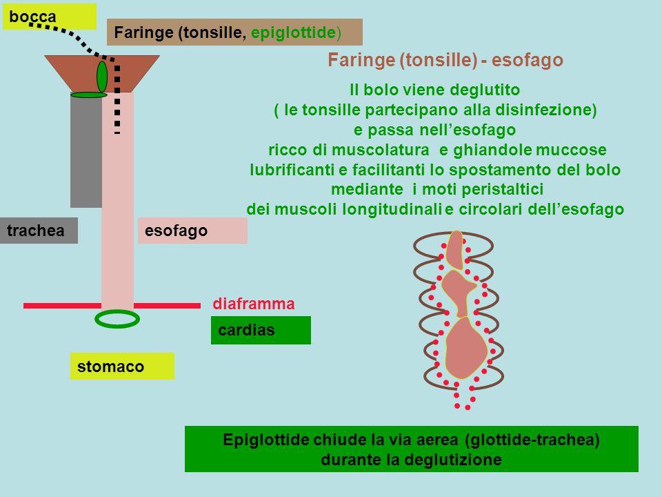 stomaco Stomaco:digestione fisica (peristalsi), chimica (succo gastrico) Muccosa gastrica e succo gastrico Cellule accessorie :secernono muco protettivo da autodigestione cellule parietali:secernono HCl cellule principali:secernono pepsinogeno fattore intrinseco lega vitamina B12 e la protegge da idrolisi (prosegue un poco idrolisi di glucidi ad opera della ptialina) HCl compare come effetto della secrezione separata di H+ e Cl- funzione attivatrice su pepsinogeno che diventa pepsina funzione sterilizzatrice, abbassamento del pH (2), disgregatrice fibre H+Cl-H+Cl-H+Cl- H+Cl- HCl H+Cl- pepsinogeno HCl > pH 2 pepsinogenopepsina proteine pepsina Polipeptidi, peptoni La pepsina idrolizza le proteine in polipeptidi, peptoni