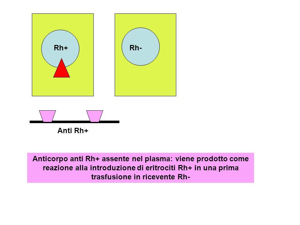 Rh+ Rh-Anti Rh+ Anticorpo anti Rh+ assente nel plasma: viene prodotto come reazione alla introduzione di eritrociti Rh+ in una prima trasfusione in ri
