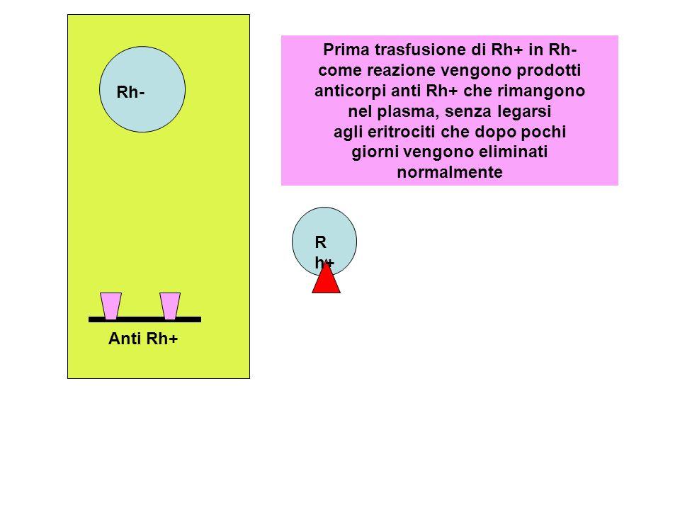 R h+ Rh- Prima trasfusione di Rh+ in Rh- come reazione vengono prodotti anticorpi anti Rh+ che rimangono nel plasma, senza legarsi agli eritrociti che