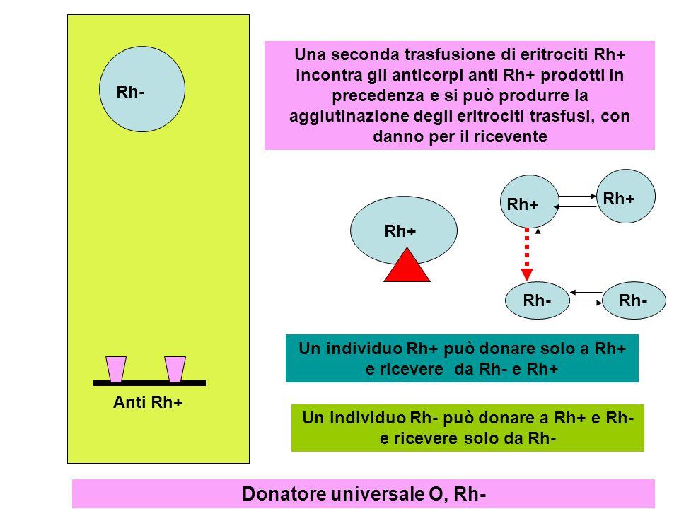 Rh+ Rh-Anti Rh+ Una seconda trasfusione di eritrociti Rh+ incontra gli anticorpi anti Rh+ prodotti in precedenza e si può produrre la agglutinazione d