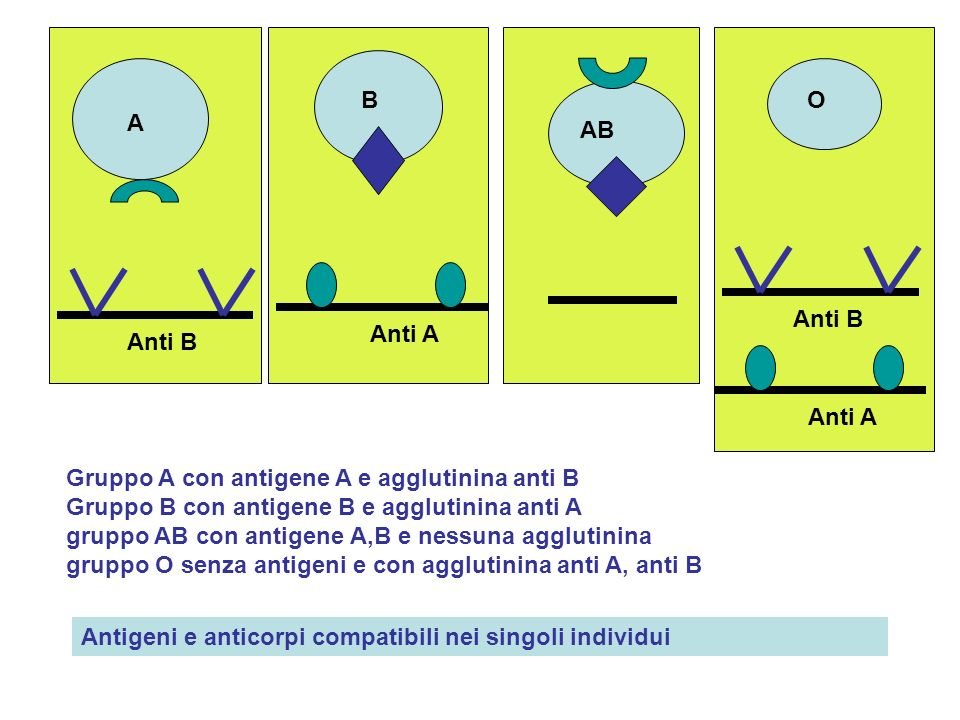 B Anti A A Anti B AB O Anti B Anti A Gruppo A con antigene A e agglutinina anti B Gruppo B con antigene B e agglutinina anti A gruppo AB con antigene