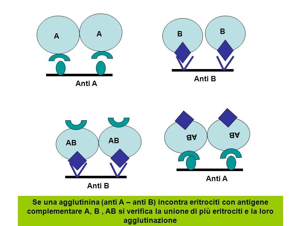 A B AB Anti A Anti B A B AB Anti A Anti B Se una agglutinina (anti A – anti B) incontra eritrociti con antigene complementare A, B, AB si verifica la