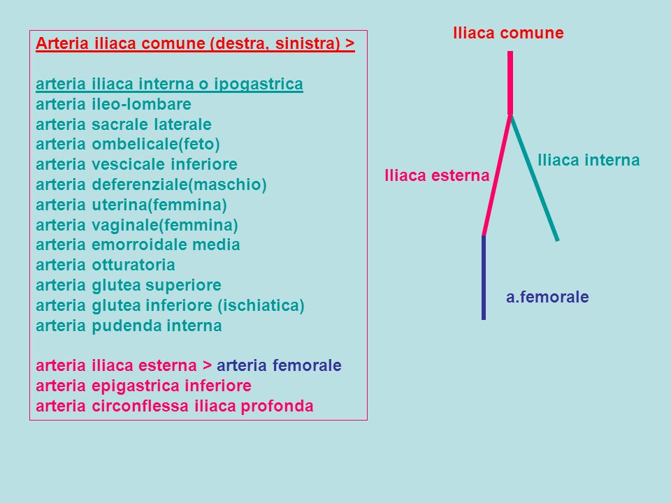 Arteria iliaca comune (destra, sinistra) > arteria iliaca interna o ipogastrica arteria ileo-lombare arteria sacrale laterale arteria ombelicale(feto) arteria vescicale inferiore arteria deferenziale(maschio) arteria uterina(femmina) arteria vaginale(femmina) arteria emorroidale media arteria otturatoria arteria glutea superiore arteria glutea inferiore (ischiatica) arteria pudenda interna arteria iliaca esterna > arteria femorale arteria epigastrica inferiore arteria circonflessa iliaca profonda Iliaca comune Iliaca interna Iliaca esterna a.femorale