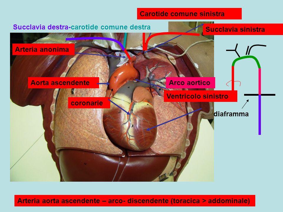 Ventricolo sinistro Aorta ascendenteArco aortico coronarie Arteria anonima Carotide comune sinistra Succlavia sinistra Succlavia destra-carotide comune destra Arteria aorta ascendente – arco- discendente (toracica > addominale) diaframma