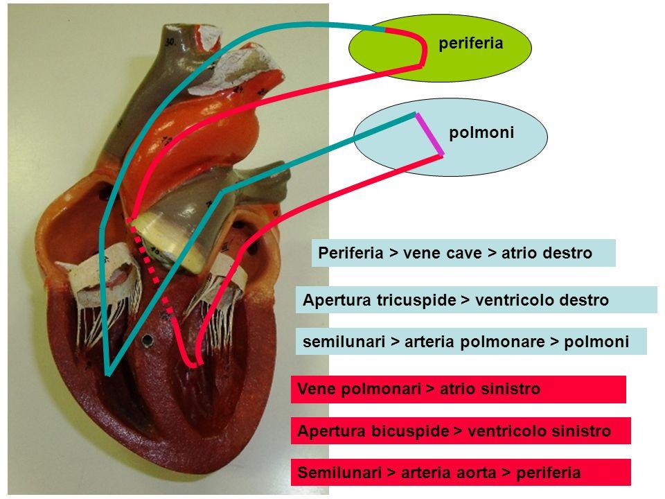 polmoni periferia Periferia > vene cave > atrio destro Apertura tricuspide > ventricolo destro semilunari > arteria polmonare > polmoni Vene polmonari