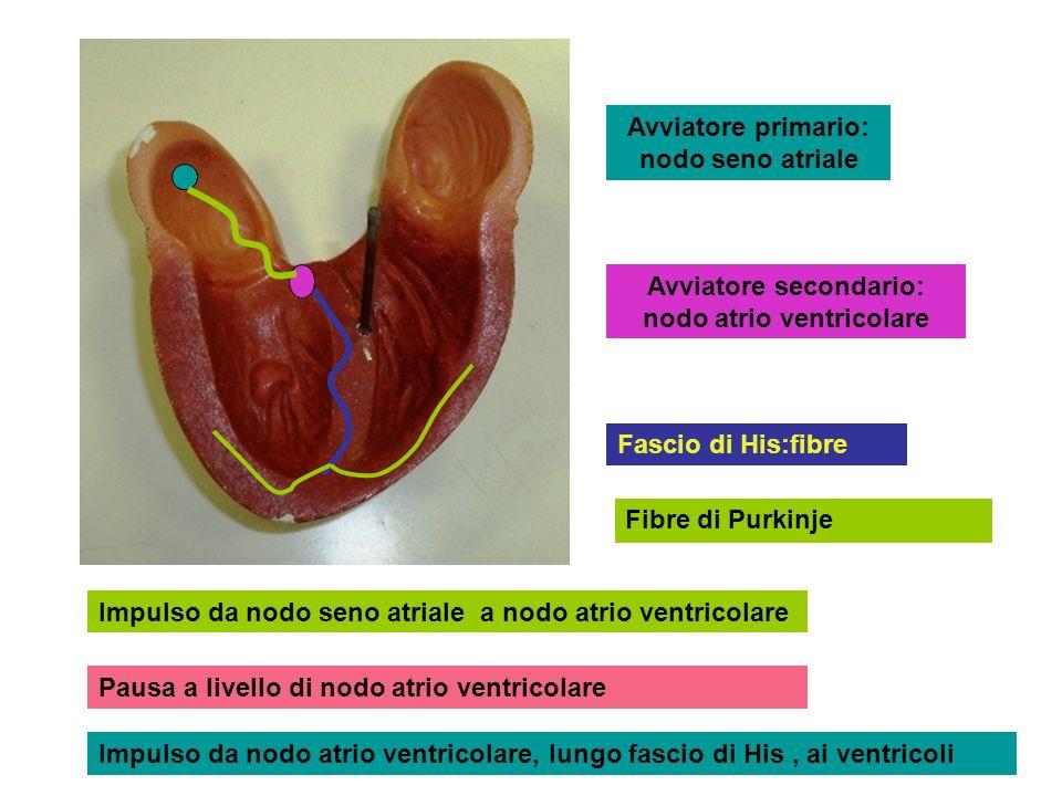 Avviatore primario: nodo seno atriale Avviatore secondario: nodo atrio ventricolare Fascio di His:fibre Impulso da nodo seno atriale a nodo atrio vent