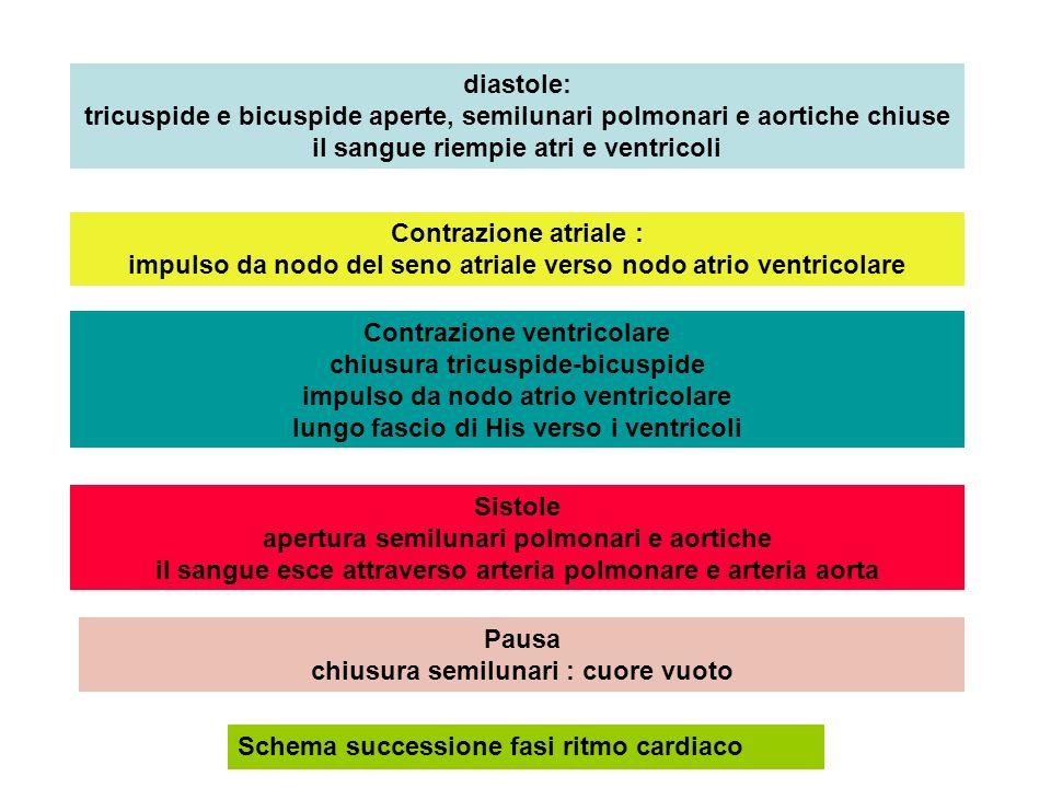diastole: tricuspide e bicuspide aperte, semilunari polmonari e aortiche chiuse il sangue riempie atri e ventricoli Contrazione atriale : impulso da n