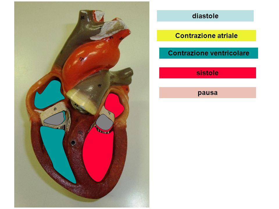 diastole Contrazione atriale Contrazione ventricolare sistole pausa
