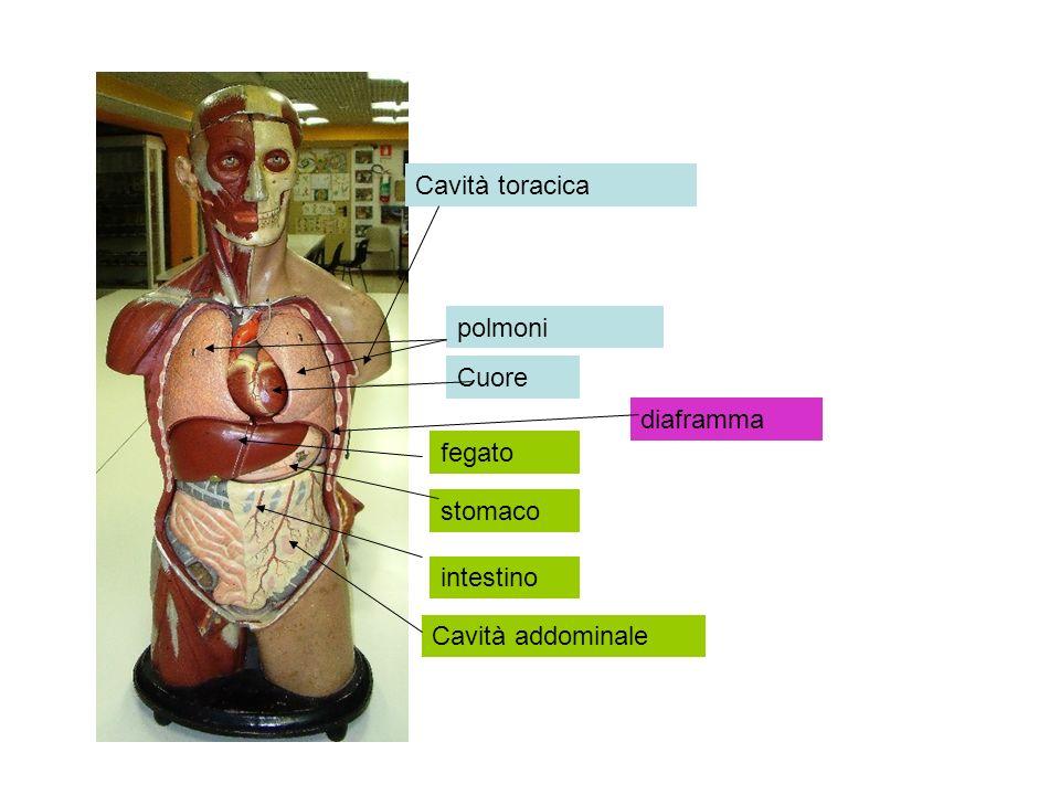Cuore polmoni fegato diaframma Cavità addominale Cavità toracica stomaco intestino