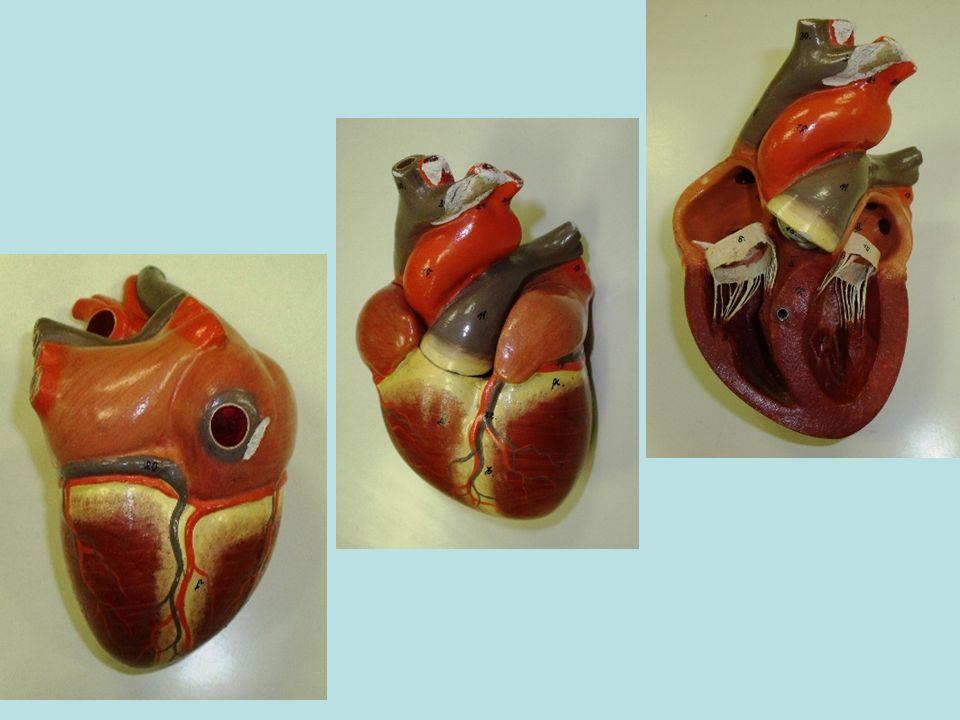Polmone destroPolmone(aperto) sinistro fegato Arteria aortaArteria polmonare Ventricolo destro Ventricolo sinistro