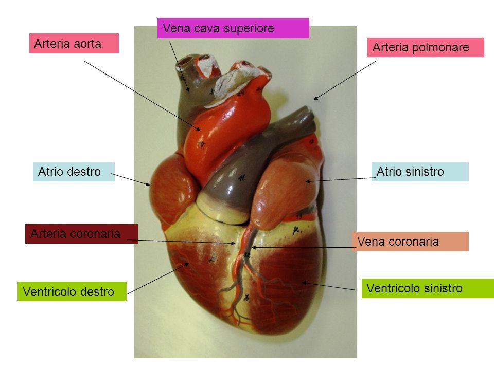Arteria aorta Arteria polmonare Vena cava superiore Atrio destroAtrio sinistro Ventricolo destro Ventricolo sinistro Arteria coronaria Vena coronaria