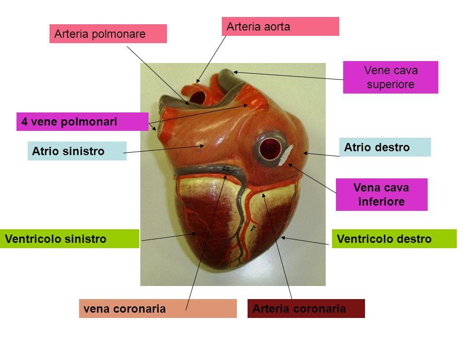 4 vene polmonari Atrio sinistro Atrio destro Vena cava inferiore Ventricolo sinistroVentricolo destro Arteria coronariavena coronaria Vene cava superi