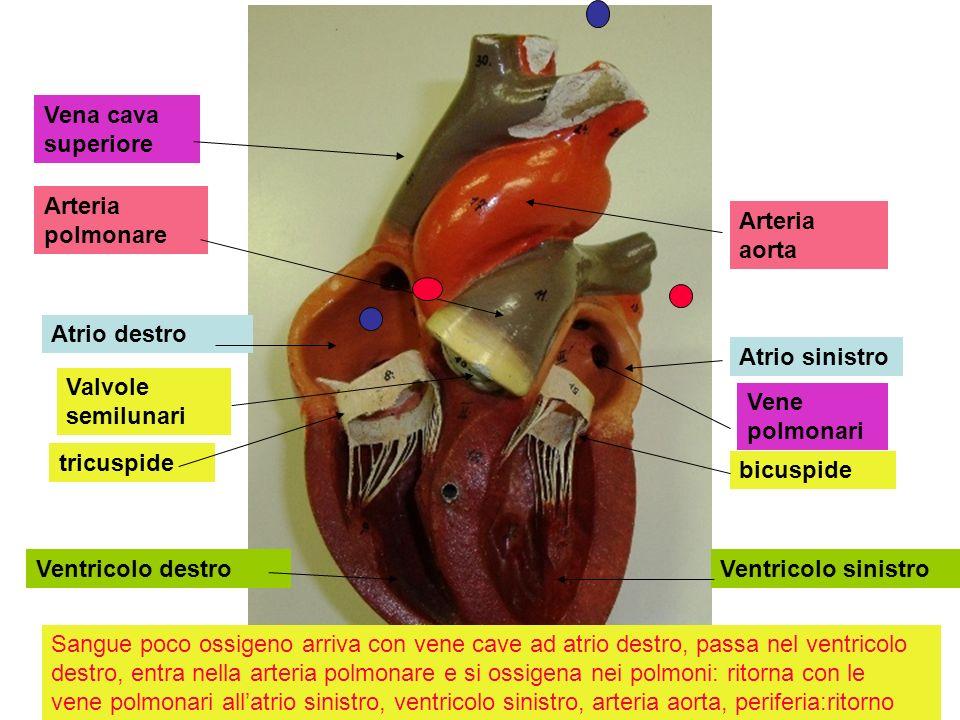 Atrio destro Atrio sinistro Ventricolo destroVentricolo sinistro tricuspide bicuspide Arteria polmonare Arteria aorta Vene polmonari Vena cava superio