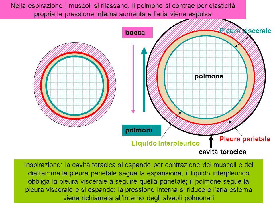 Inspirazione: la cavità toracica si espande per contrazione dei muscoli e del diaframma:la pleura parietale segue la espansione; il liquido interpleurico obbliga la pleura viscerale a seguire quella parietale; il polmone segue la pleura viscerale e si espande: la pressione interna si riduce e laria esterna viene richiamata allinterno degli alveoli polmonari Nella espirazione i muscoli si rilassano, il polmone si contrae per elasticità propria;la pressione interna aumenta e laria viene espulsa Muscoli inspiratori principali:intercostali esterni, elevatori delle coste, diaframma muscoli espiratori:intercostali interni, addominali