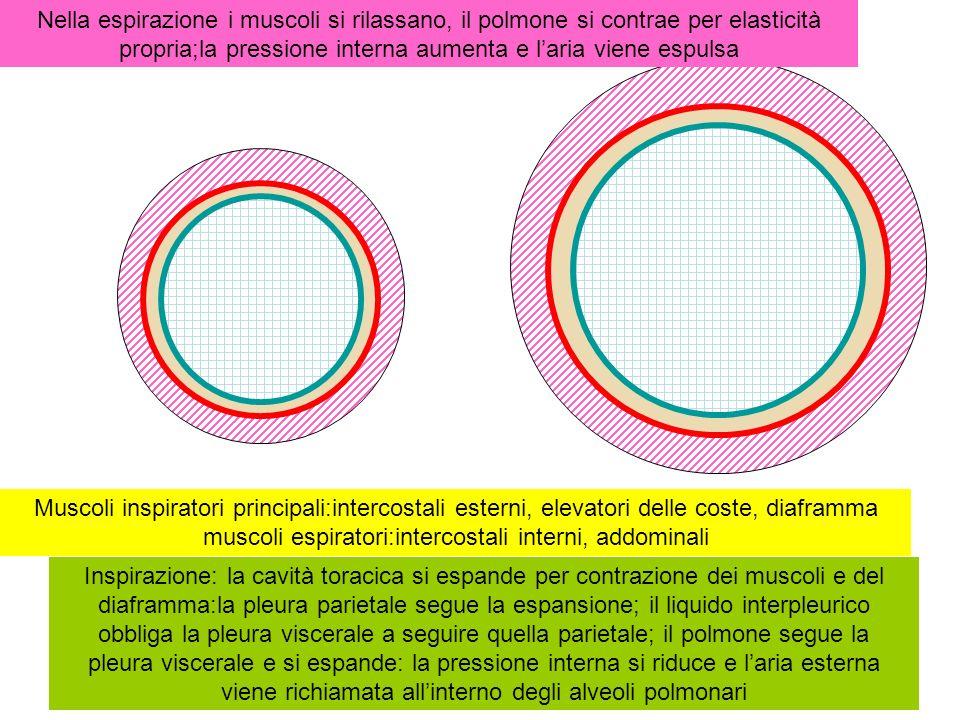 Inspirazione: la cavità toracica si espande per contrazione dei muscoli intercostali esterni e del diaframma:la pleura parietale segue la espansione; il liquido interpleurico obbliga la pleura viscerale a seguire quella parietale; il polmone segue la pleura viscerale e si espande: la pressione interna si riduce e laria esterna viene richiamata allinterno degli alveoli polmonari Nella espirazione i muscoli si rilassano, il polmone si contrae per elasticità propria;la pressione interna aumenta e laria viene espulsa bocca polmoni