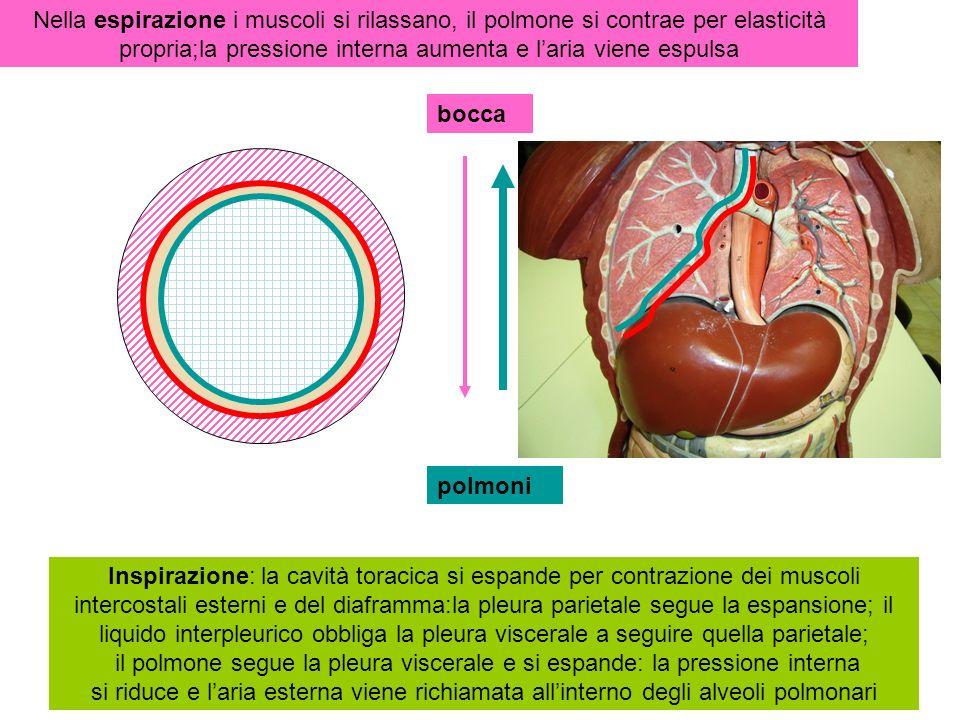cervelletto Midollo spinale encefalo IV ventricolo Midollo allungato ponte Corpo calloso ipofisi