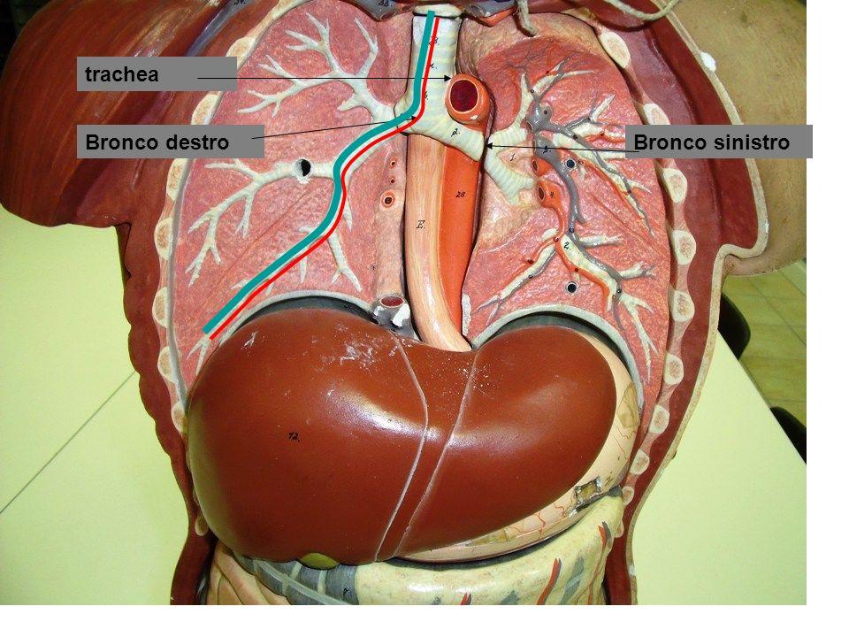 Controllo umorale da periferia Seno carotideo -corpo carotideo :chemorecettori: analizzano composizione del sangue, ossigeno, anidride carbonica, pH e inviano segnali ai centri respiratori arco aortico > glomo aortico :chemorecettori: analizzano composizione del sangue, ossigeno, anidride carbonica, pH e inviano segnali ai centri respiratori Carotide comune Seno carotideo Centro respiratorio Arco aortico Esterna - interna Glomo aortico Glomo carotideo Controllo da parte di termorecettori (ipotalamici) sensibili a temperatura del sangue circolante, e periferici, cutanei, sensibili a variazioni ambientali
